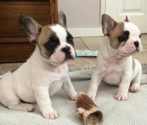 cachorros de bulldog franc�s lindo y encantador    hola ... con nosotr